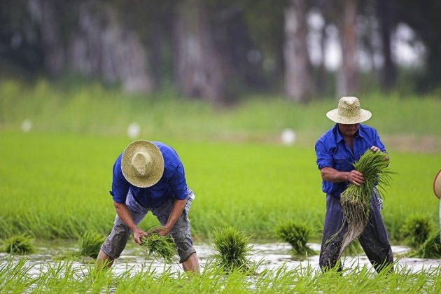 Delta de l'Ebre récolte du riz