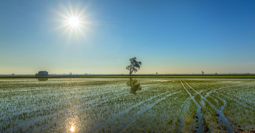 Delta de l'ebre rizières